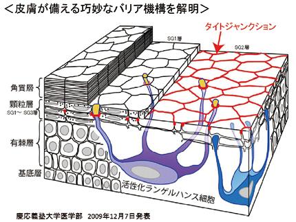 慶応大学医学部が発表した皮膚の防御機能の図