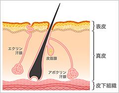 皮膚構造のイラスト